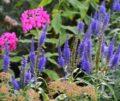 langblattriger-garden-speedwell-1603739_1280-e1473159862313-500x420