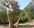 Miles the Giraffe