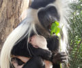 Angolan Colobus Monkeys