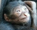 Baby Siamang