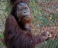 Greenville Zoo's New Sumatran Orangutan
