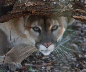 Hollywild Cougar