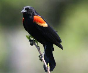 Red-winged Blackbird by Will Stuart